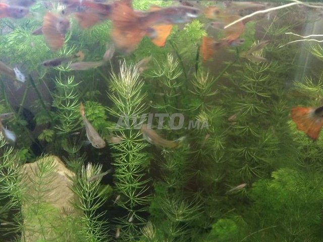 aquarium planté avec guppy - 2