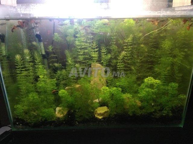 aquarium planté avec guppy - 4