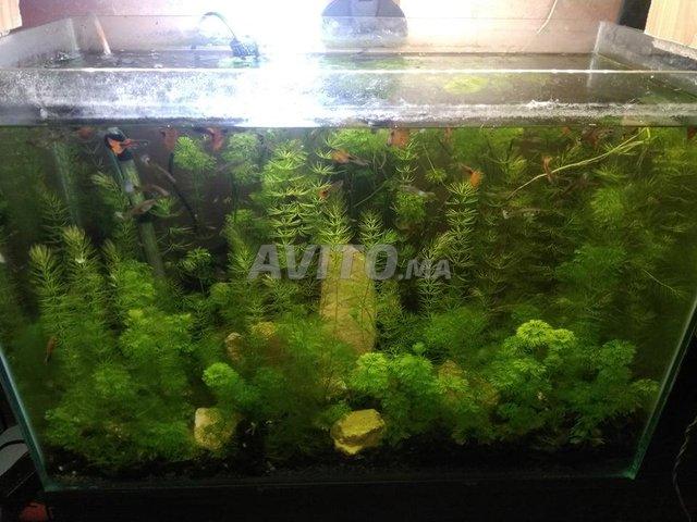 aquarium planté avec guppy - 3