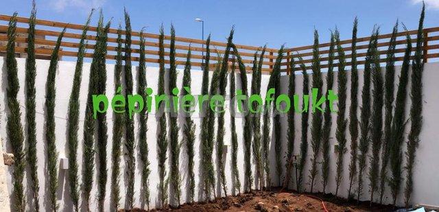 cyprès collonnes 3 metres - 4