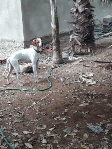 chien de chasse pointer pur - 1