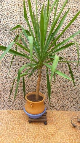 A vendre Yuca plante - 1