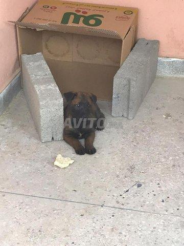chien malinwa - 2