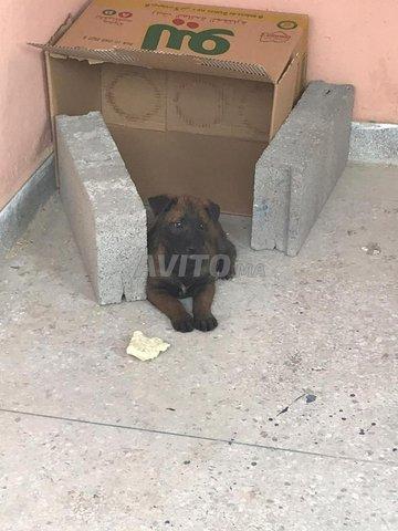 chien malinwa - 3