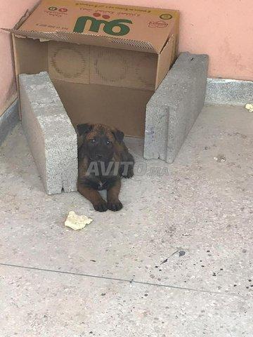 chien malinwa - 1