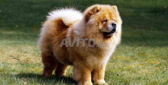 Chien Chow-Chow - 6