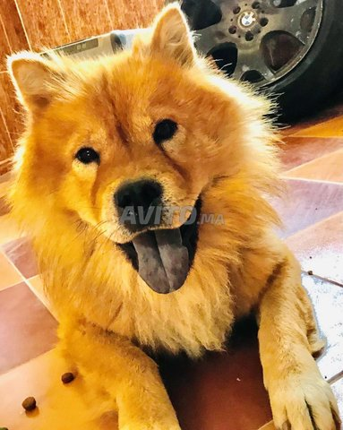 Chien Chow-Chow - 3
