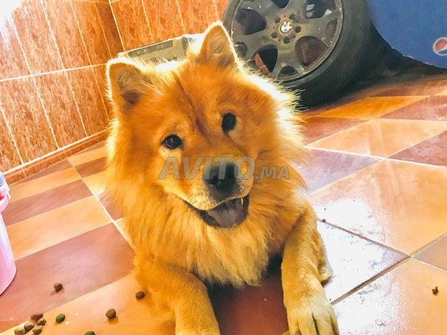 Chien Chow-Chow - 1