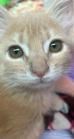 Chaton Pour Adopter Urgent Gratuit Animaux A Ifrane Avito Ma 43076220