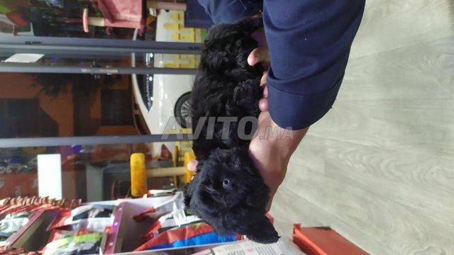 Chiot Bichon noir  - 4