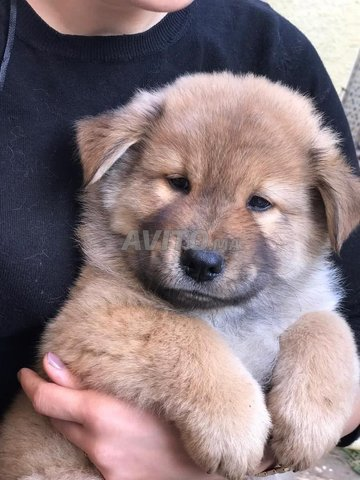 Chiots Chow Chow  - 6