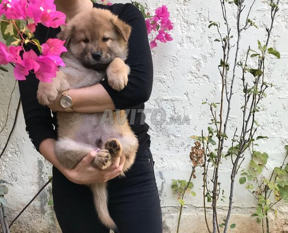 Chiots Chow Chow  - 4