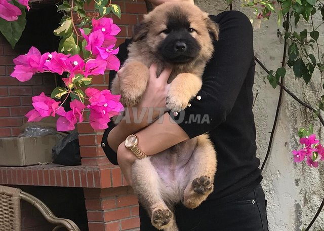 Chiots Chow Chow  - 2