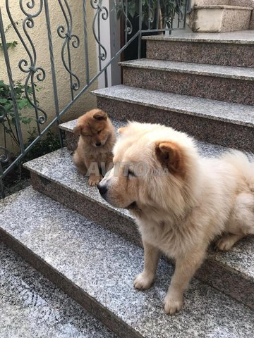 Chiots Chow Chow  - 5