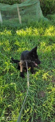 femelle berger allemand noir - 2
