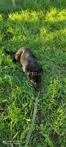 femelle berger allemand noir - 3