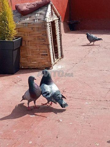 Pigeons à vendre - 1