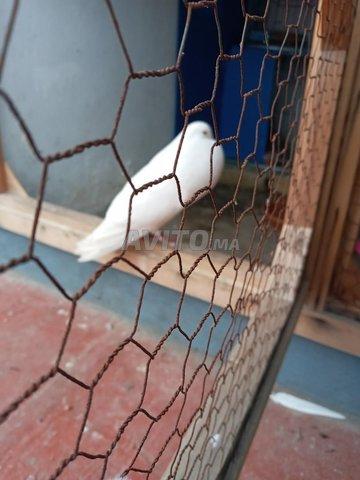 Pigeons à vendre - 2