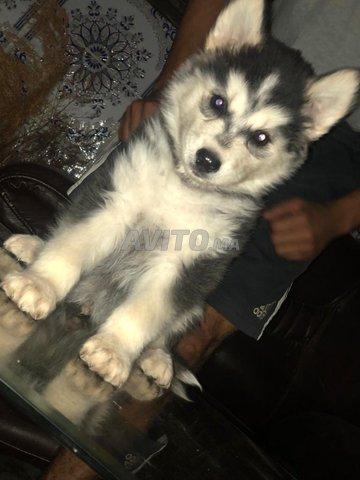 Husky sibérien  - 2