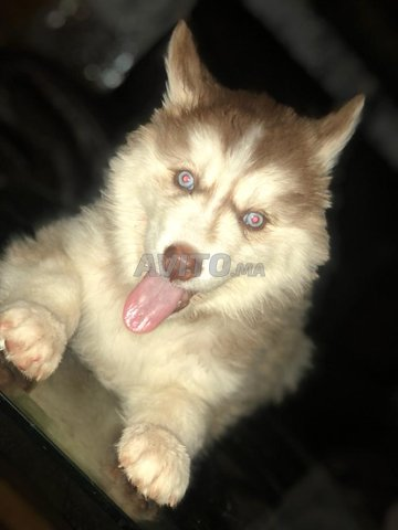 Husky sibérien  - 3