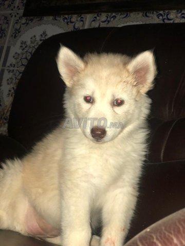 Husky sibérien  - 7