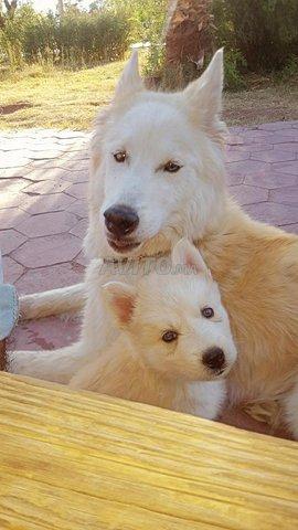 Husky sibérien  - 1