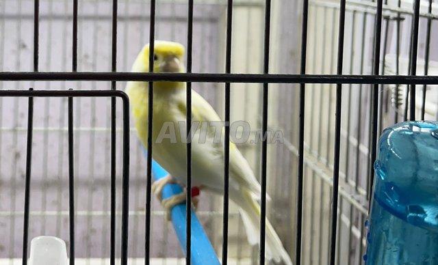 couples de canaris de couleurs pure douche - 3