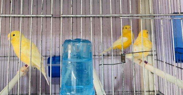 couples de canaris de couleurs pure douche - 8