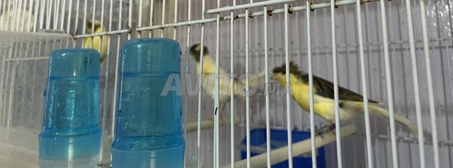 couples de canaris de couleurs pure douche - 4