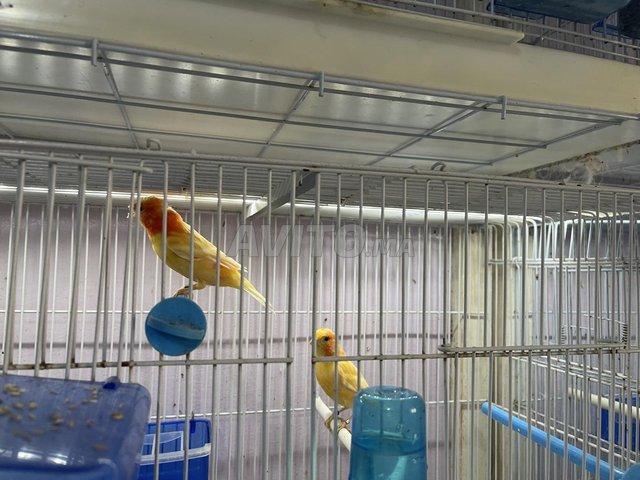 couples de canaris de couleurs pure douche - 2