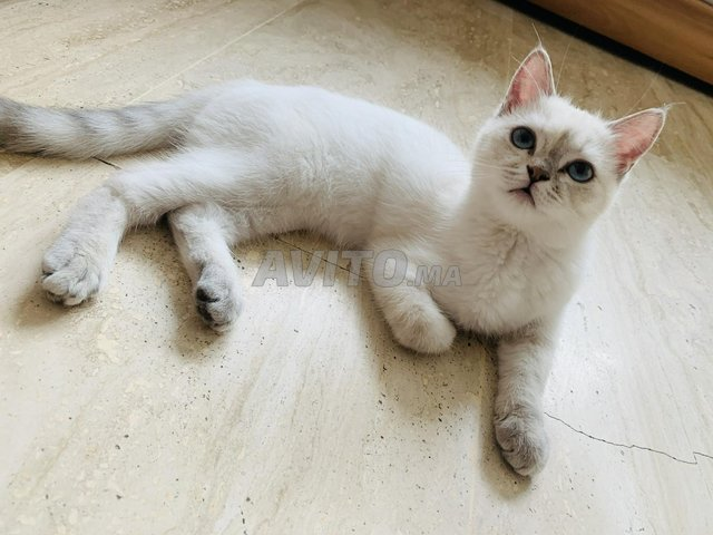 Belle chatte blanche - 1