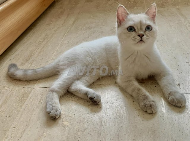 Belle chatte blanche - 2