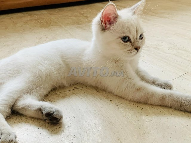 Belle chatte blanche - 3