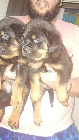 Magnifique chiots Rottweiler  - 2