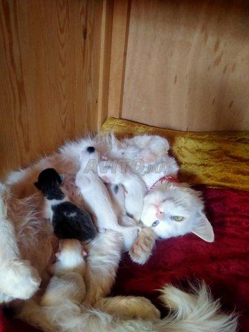 chat angora turc - 4