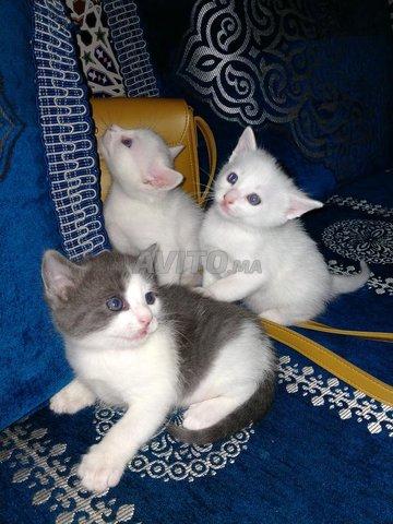chat angora turc - 1