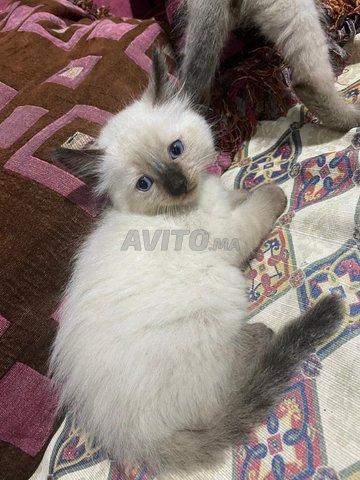 chats/chattes siamoi à vendre  - 2
