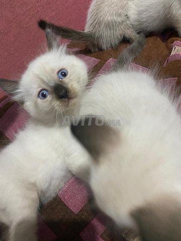 chats/chattes siamoi à vendre  - 3
