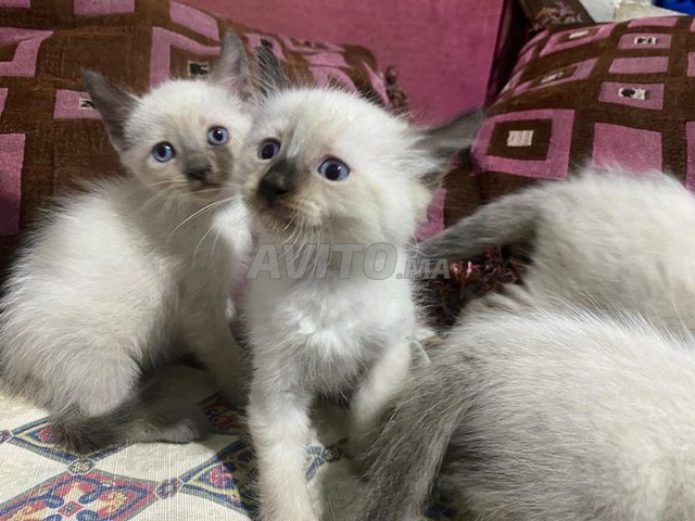 chats/chattes siamoi à vendre  - 1