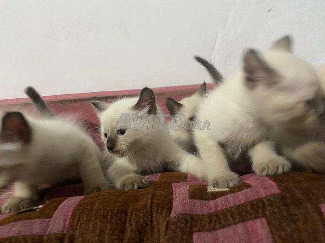 chats/chattes siamoi à vendre  - 4