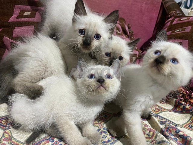 chats/chattes siamoi à vendre  - 5