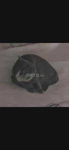 Vente d'une chatte grise à 200dh - 1