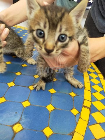 Des bebes chats a adopter  - 3