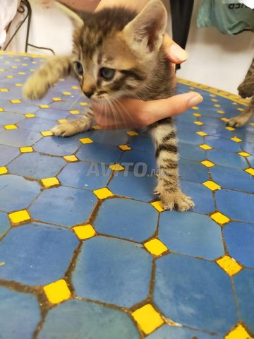 Des bebes chats a adopter  - 1