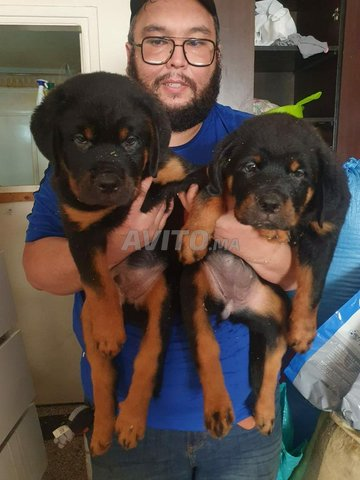 Bellissime Chiots Rottweiler Pedigree  - 2