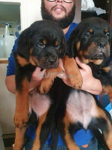 Bellissime Chiots Rottweiler Pedigree  - 3