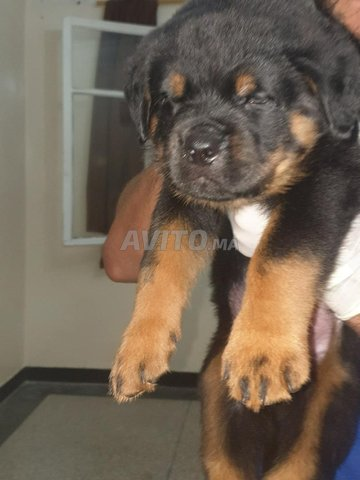 Bellissime Chiots Rottweiler Pedigree  - 1