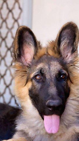 chien berger allemand race pure vacciné - 2