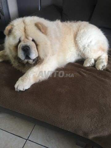 chowchow chiot - 1