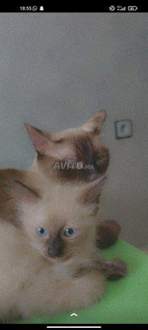 Chats Siamois - 2